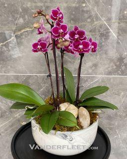 Mini Phalaenopsis Orchid Planter