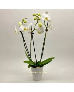 Phaleanopsis 'Butterfly' Orchid Plant