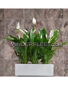 Peace Plant In White Ceramic